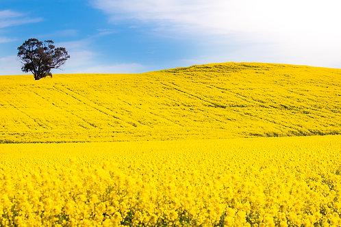 Cowra Canola 8 - Cowra, NSW