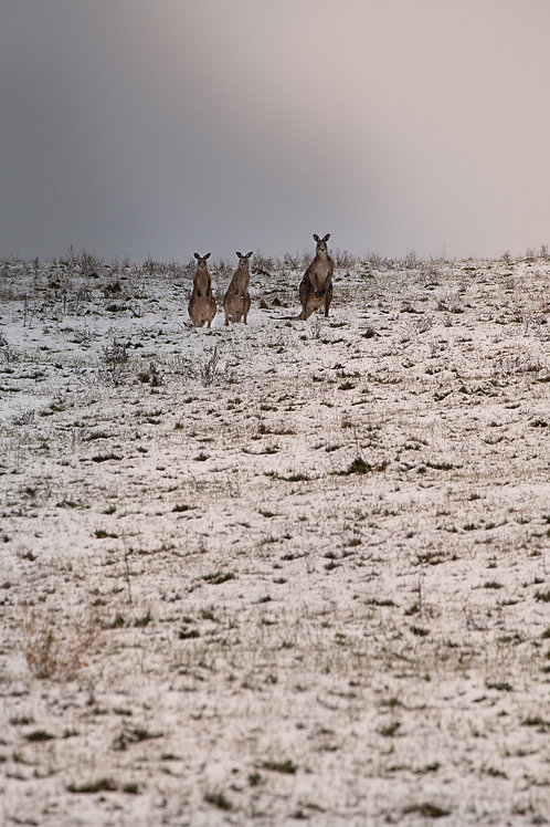 Roos in the Snow - Bathurst, NSW