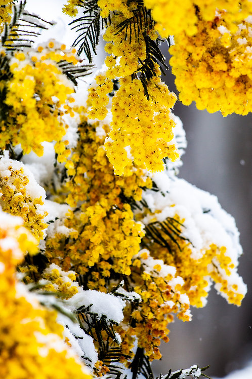 Wattle and Snow - Rockley, NSW