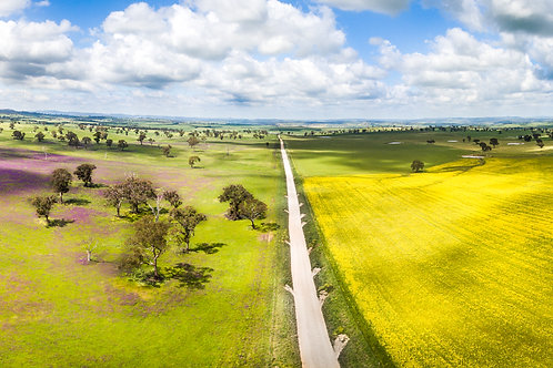 Canola and Patterson's Curse - Brewongle NSW