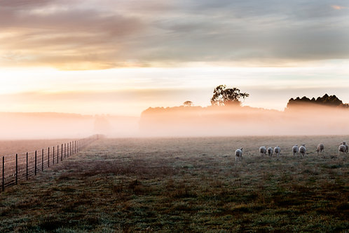 Wooly Bums and Morning Fog - Millthorpe NSW