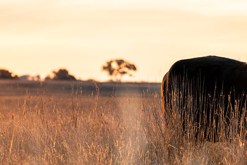 Golden Hide - Millthorpe NSW