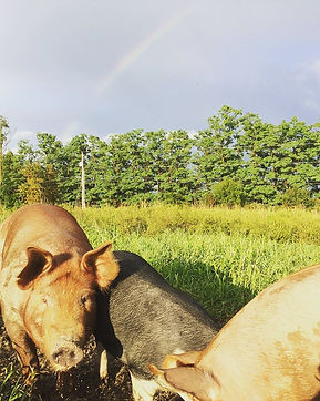 pigs.jpg