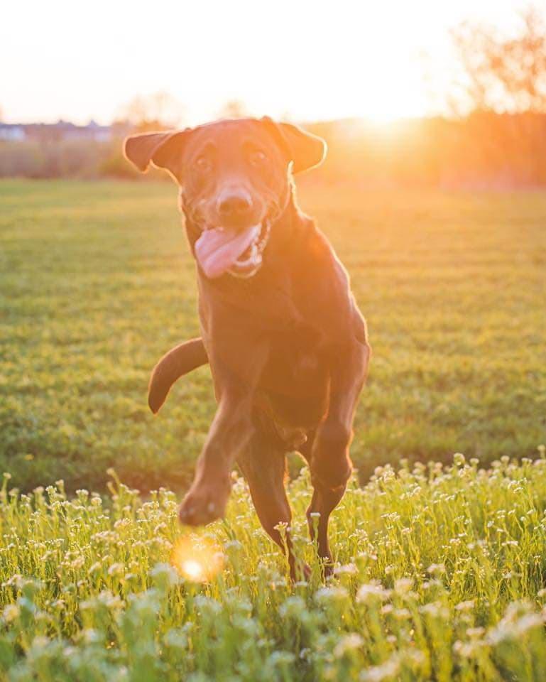 A chocolate labrador enjoys an evening running in fields.