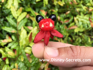 A Mickey Mouse Plant?!
