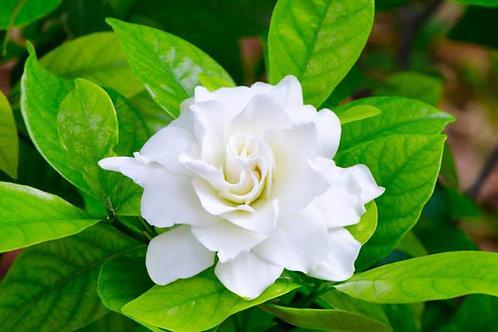 Gardenia Wax Melt