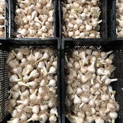 Garlic breath