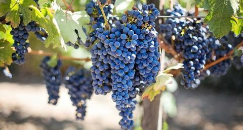vineyard_480_wide.jpg