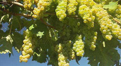 colombard-grapes_480_wide-2.jpg