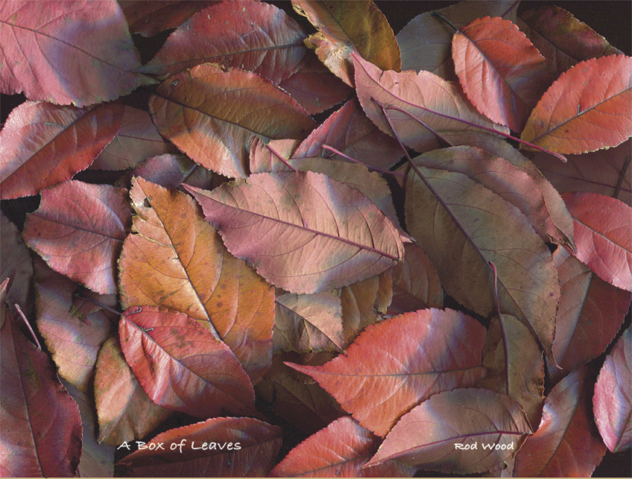 Box Leaves