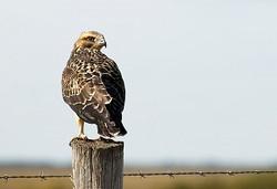 Swainsons Hawk