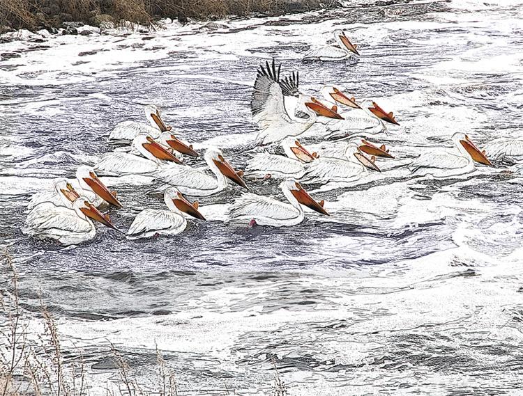 Spring Pelicans