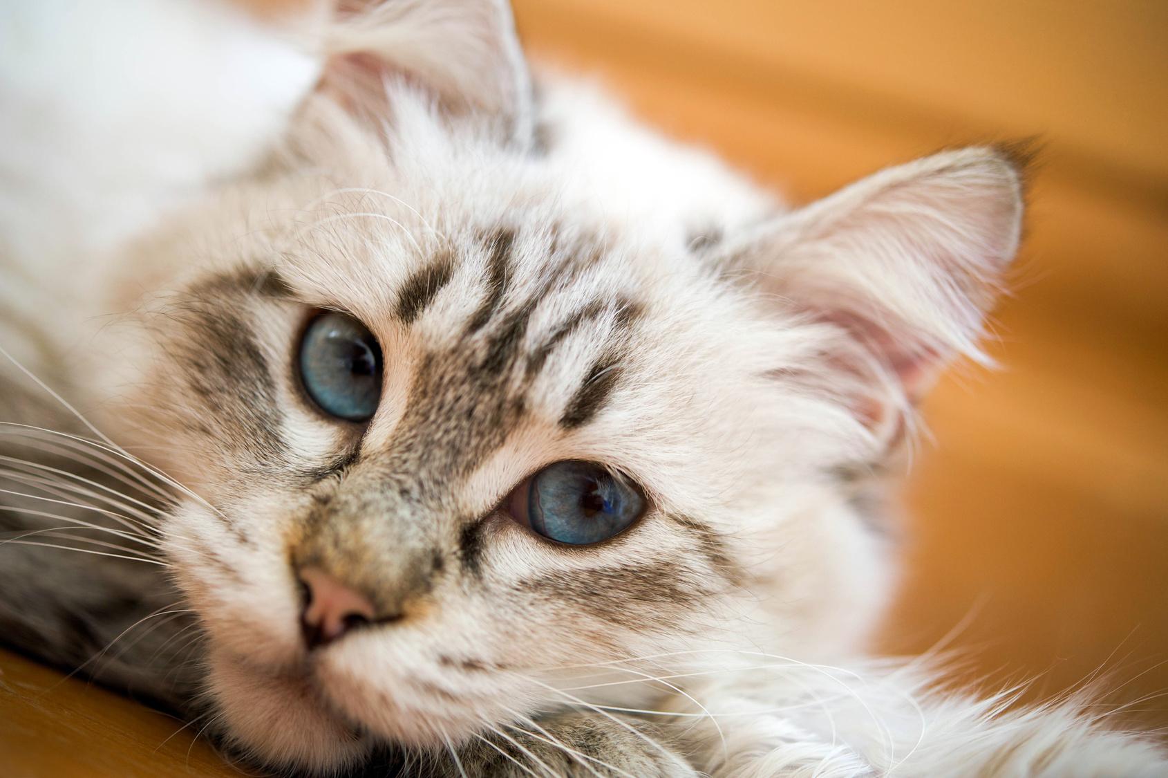 Katze Bild: Katze Rollig Trotz Kastration Homoopathie