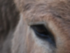 donkey_eye_animal_brown_face-1187986.jpg