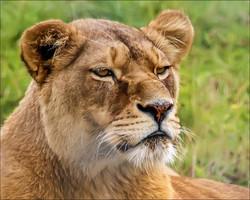19 1022_lioness_1