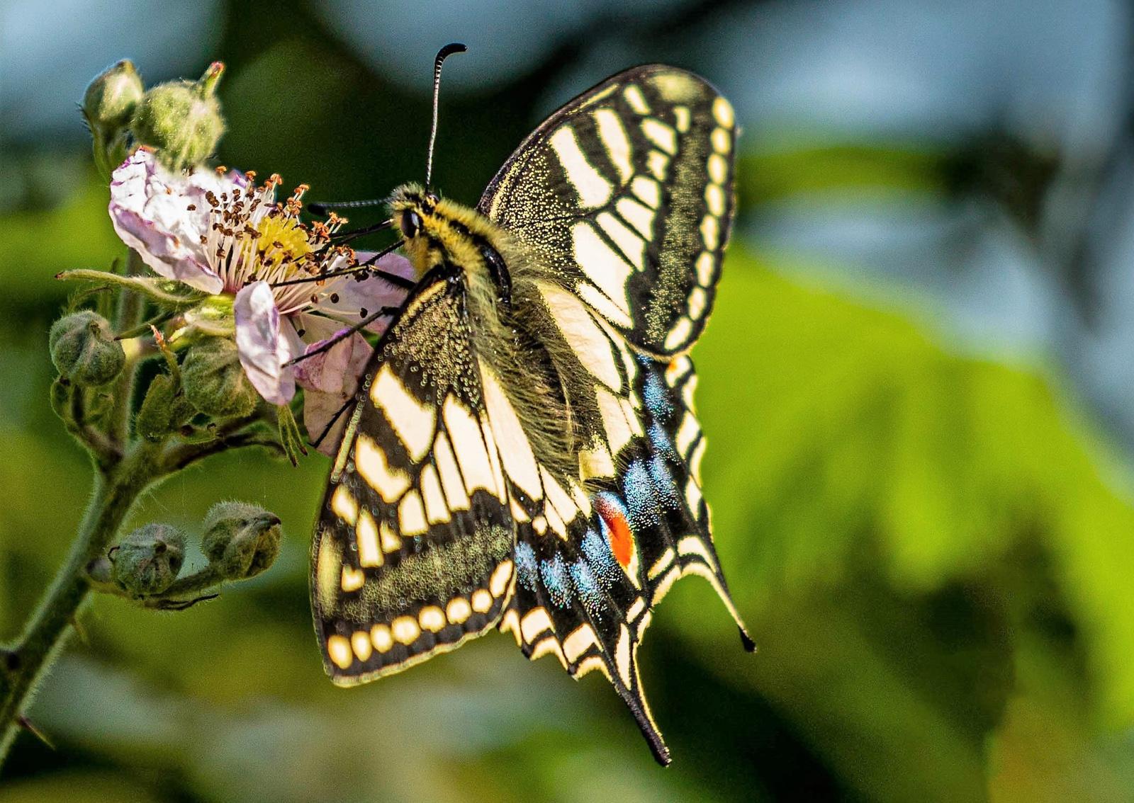 2. swallowtail.ian ashton