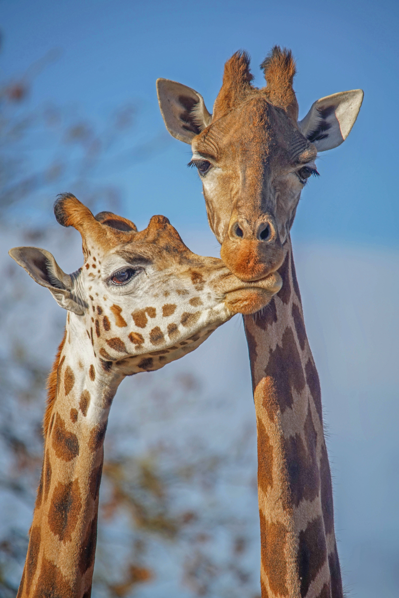 7. giraffe mother and child