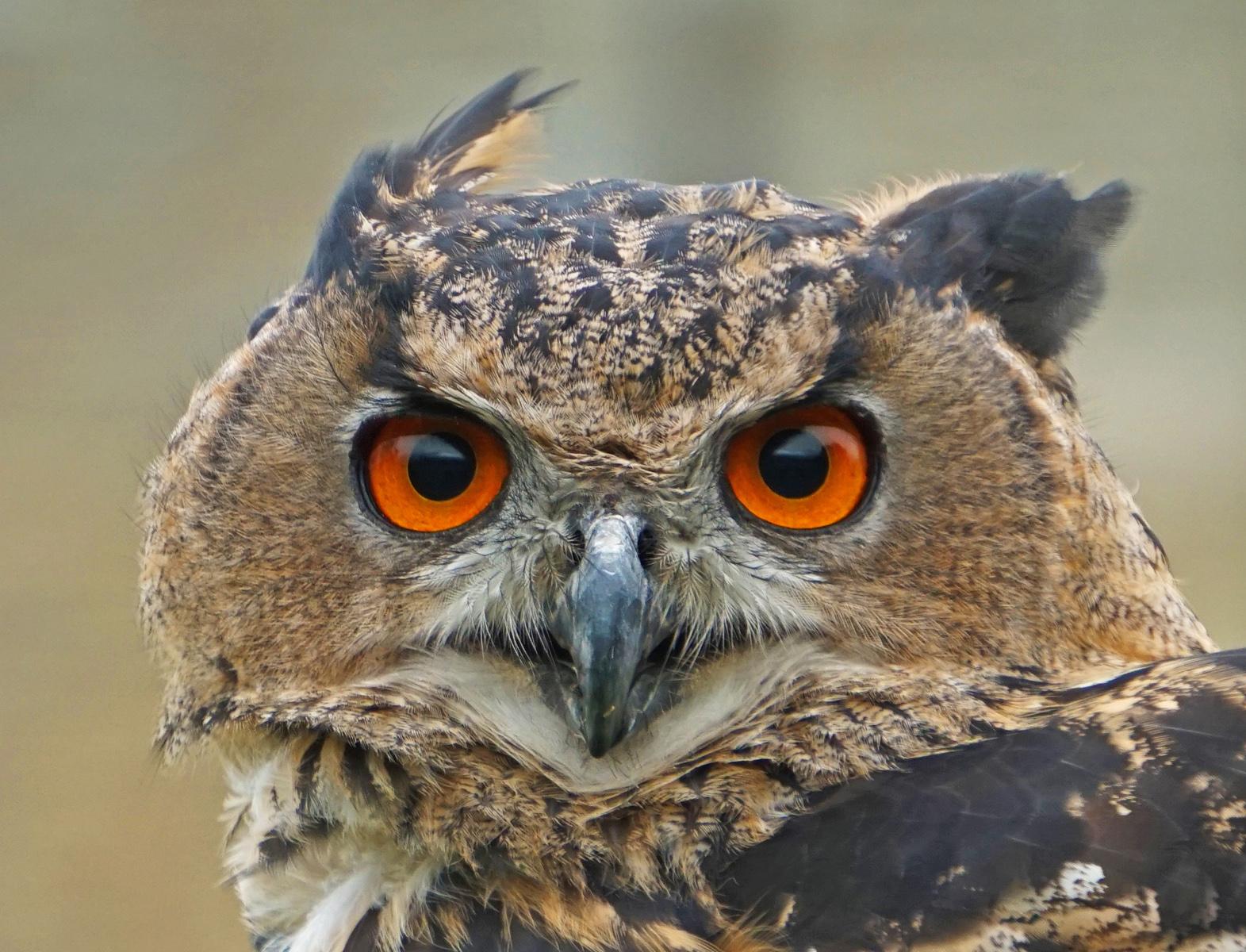 9. eagle owl.helen smith