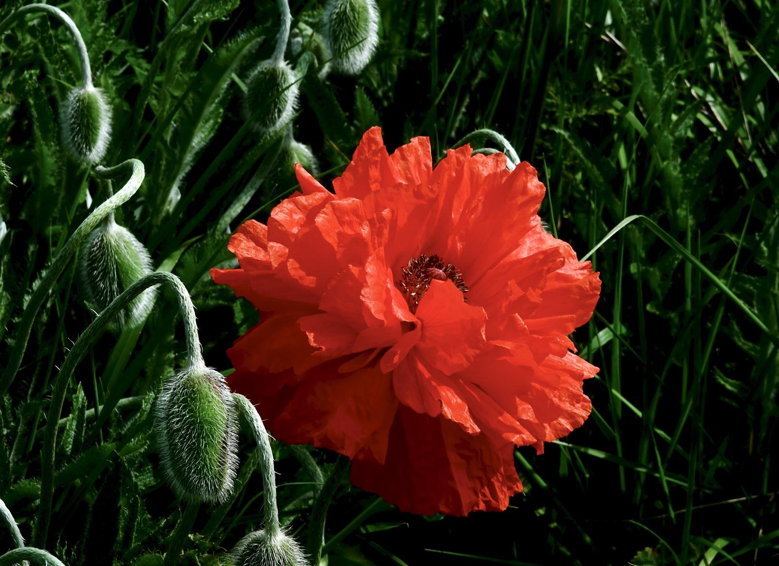 6. poppy.angela farnsworth
