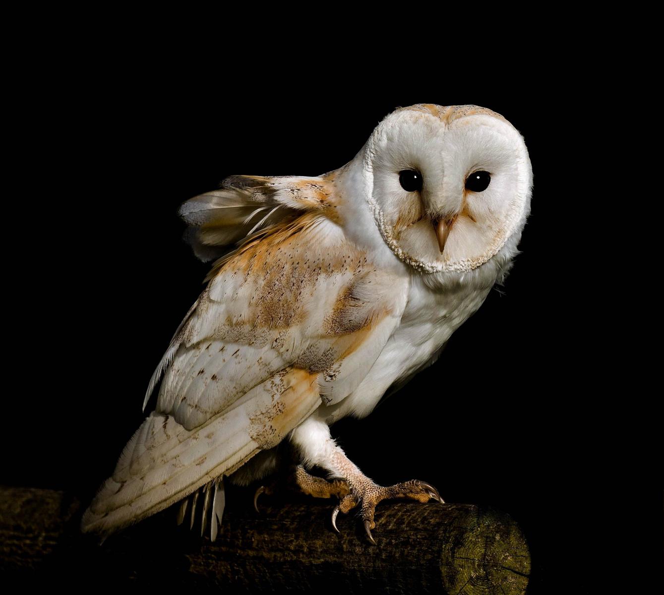 2. barn owl.carole ashton