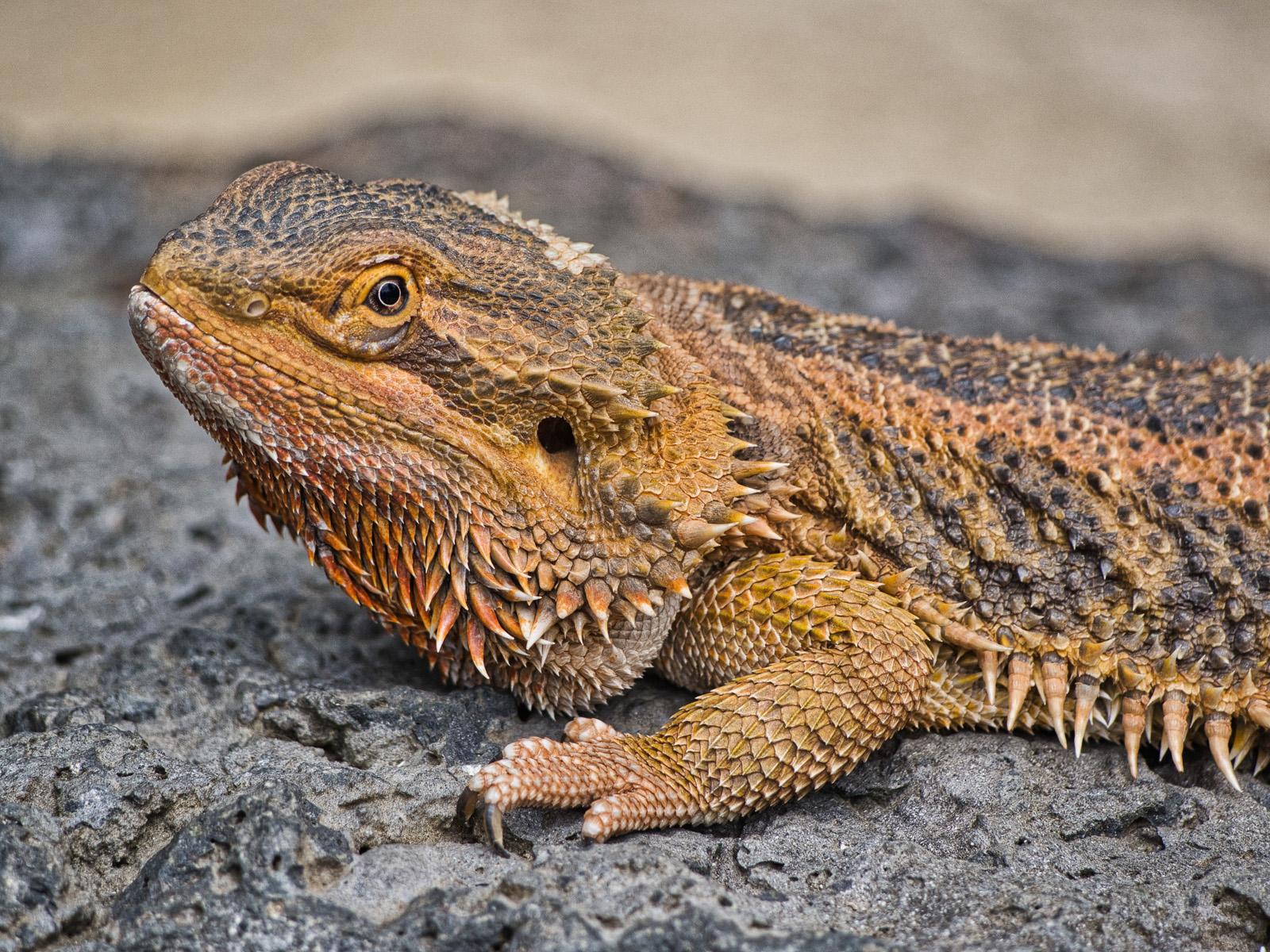 5. inland bearded dragon.ken waller