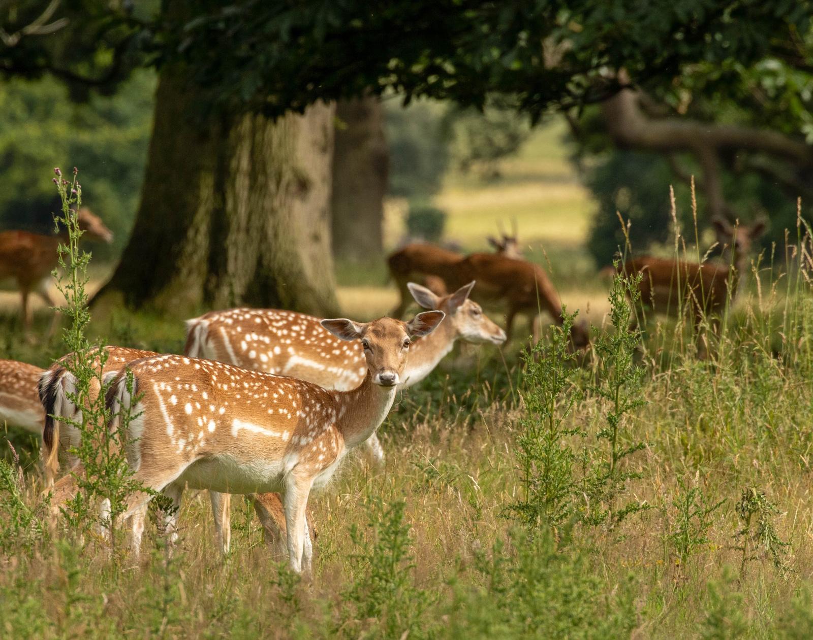 11. fallow deer.ian ashton