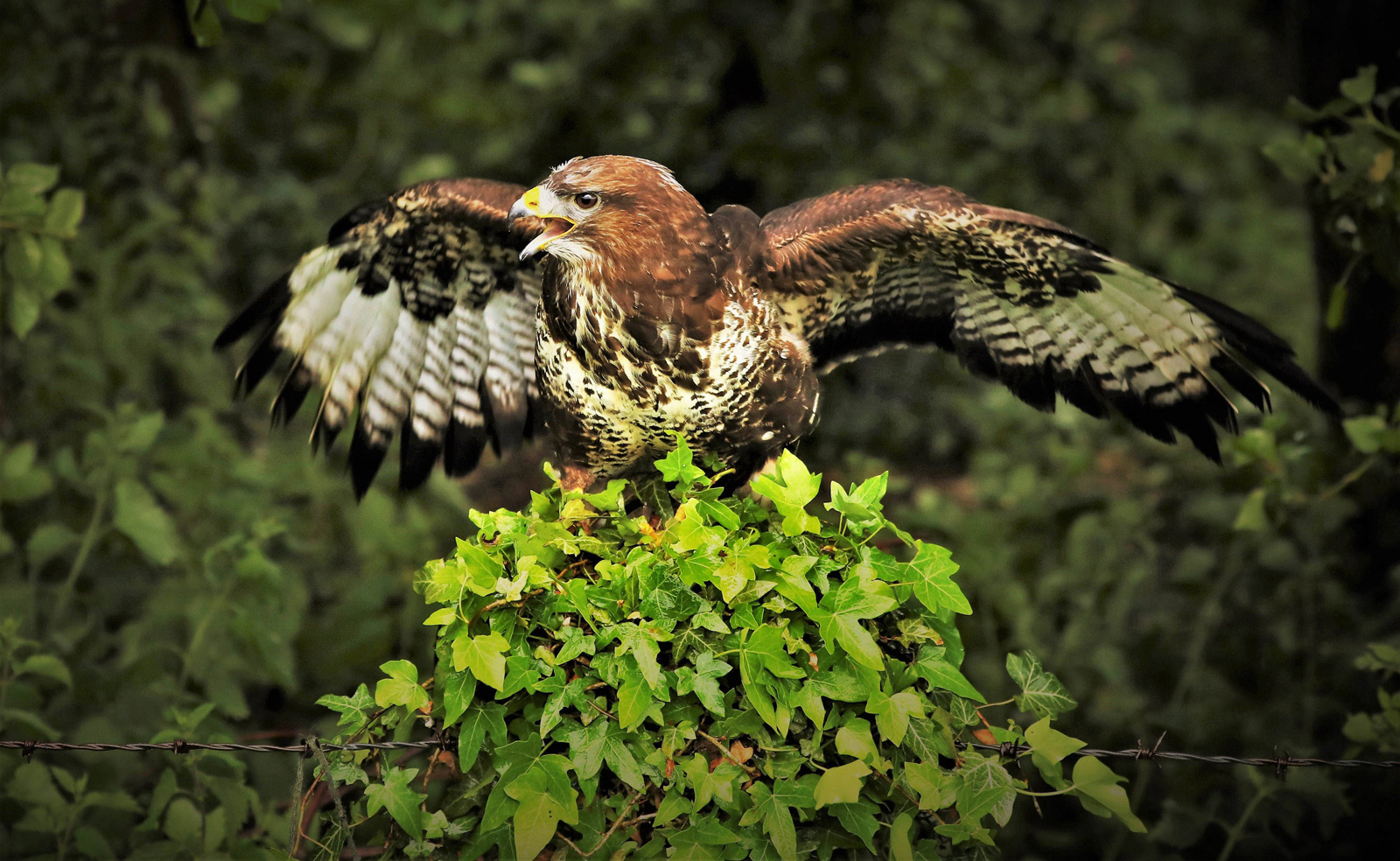 2. buzzard.ian ashton