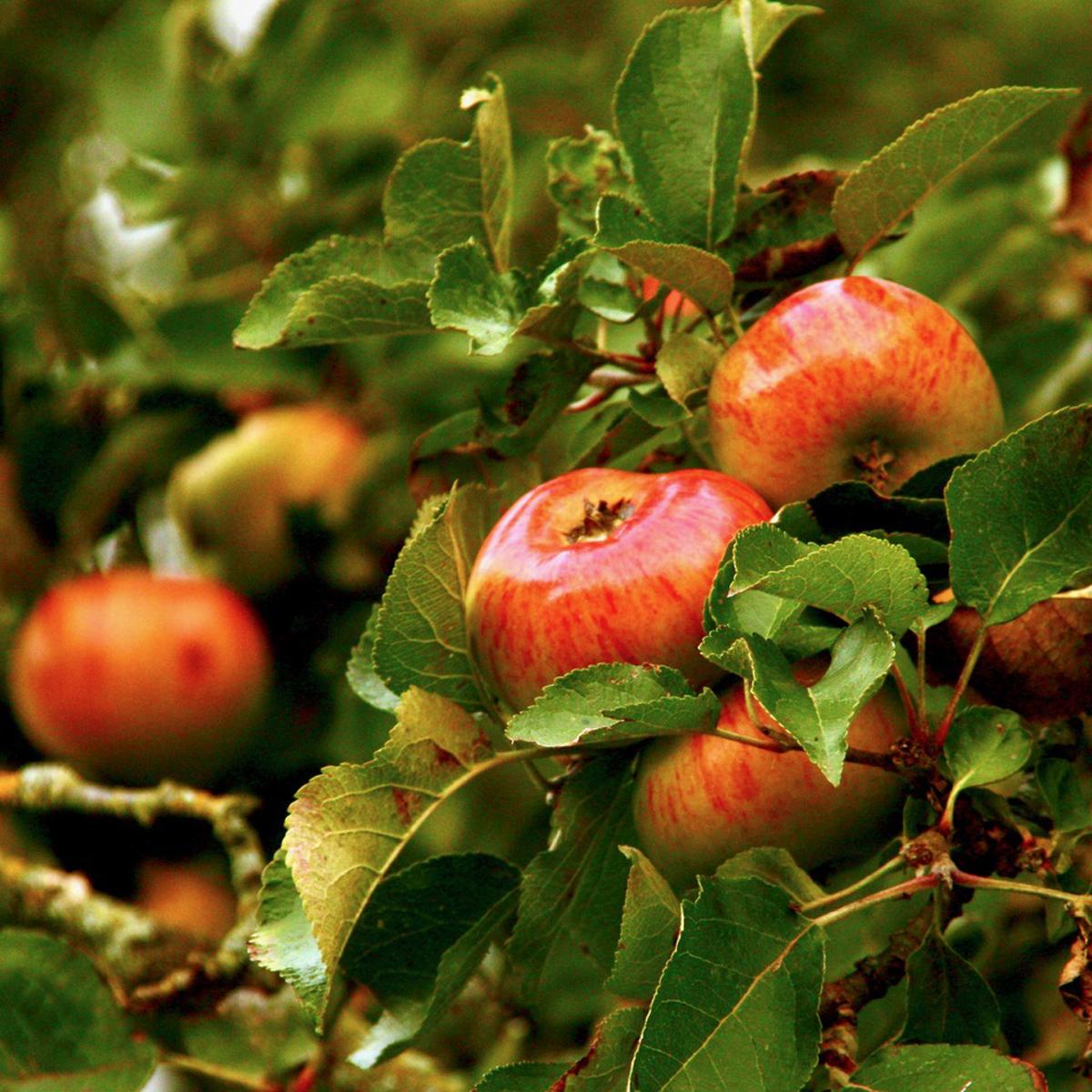 1. apples.angela farnsworth
