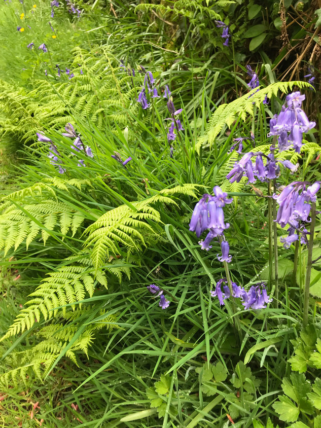 Ferns and bluebells near Hope Farm