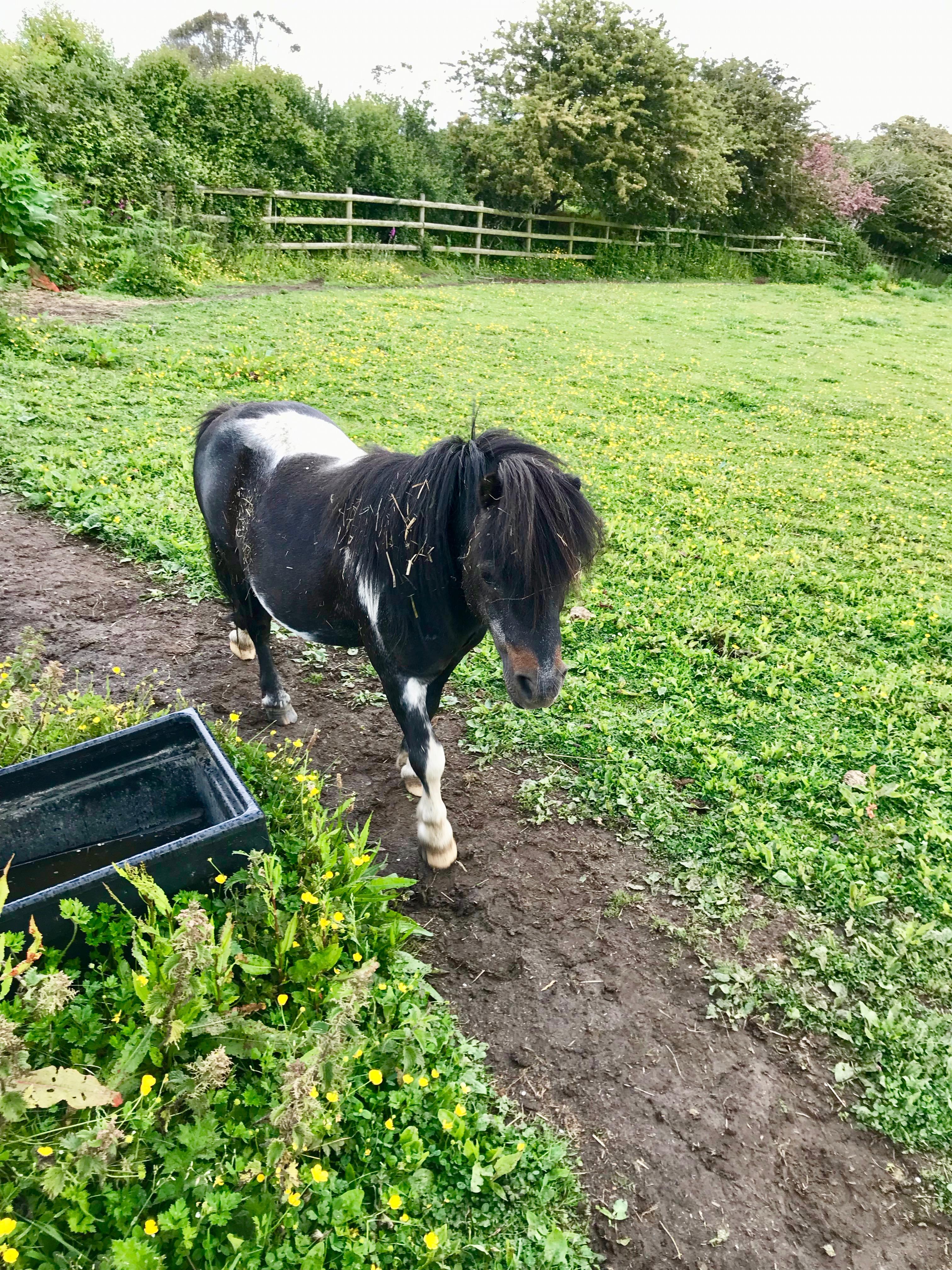 Jack the Shetland at Hope Farm