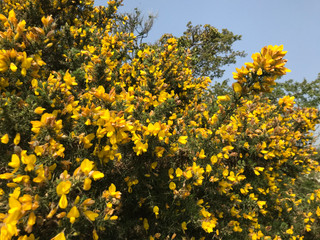 Flowering gorse at Hope Farm