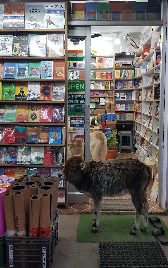 cow in bookshop.jpg