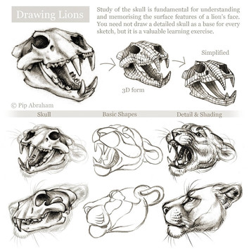 Lion cranial anatomy
