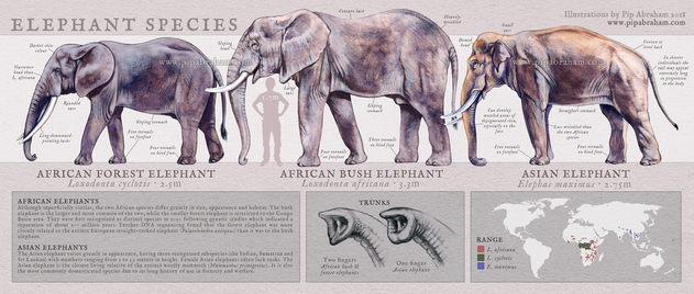 Elephant species identification poster