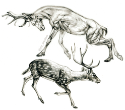 Deer anatomical studies