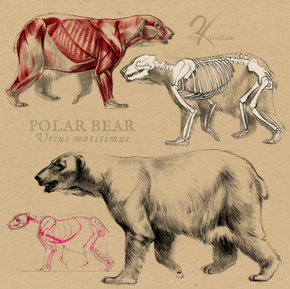 Polar bear studies