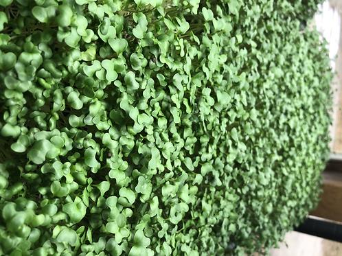 Microgreens, sunflower, broccoli or radish