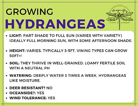 Hydrangeas Main (Sideways Flyer).png