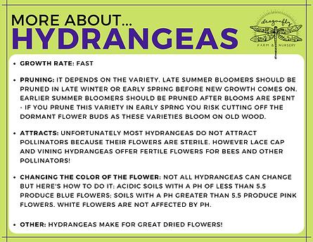 Hydrangeas Extra Facts (sideways flyer).
