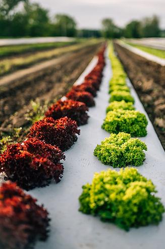 Farm Market - Salad Greens