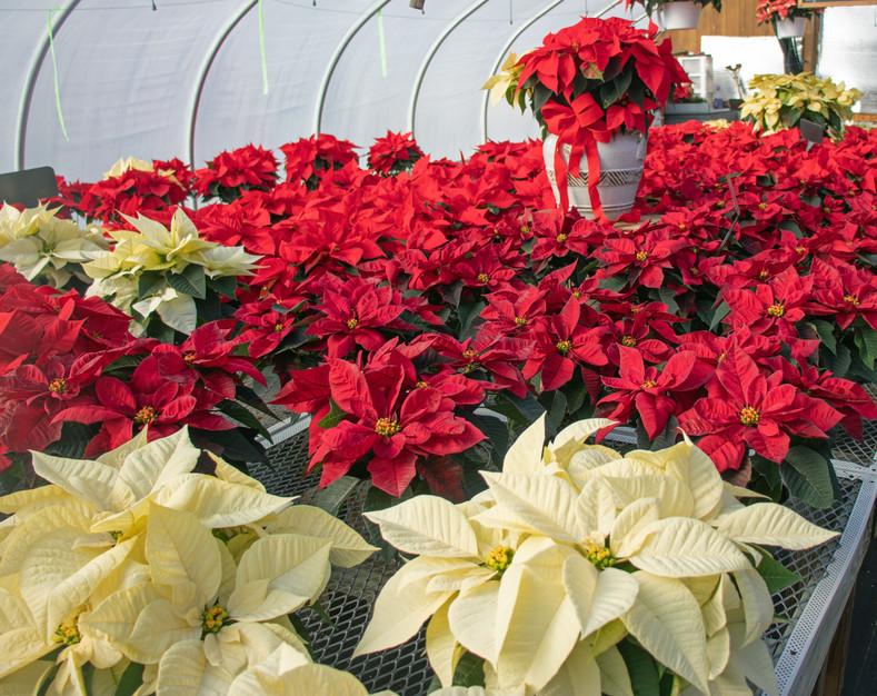 Christmas plants greenhouse poinsettias