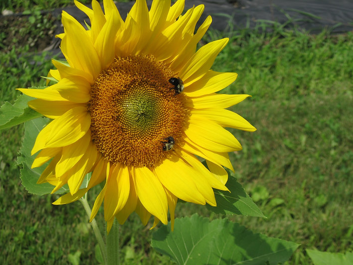 bees working at the farm.JPG