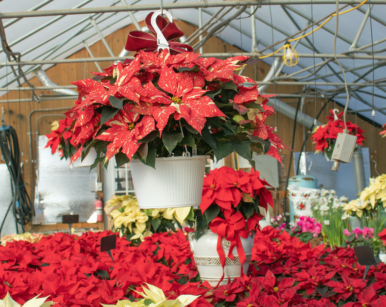 Christmas plants greenhouse hanging poin