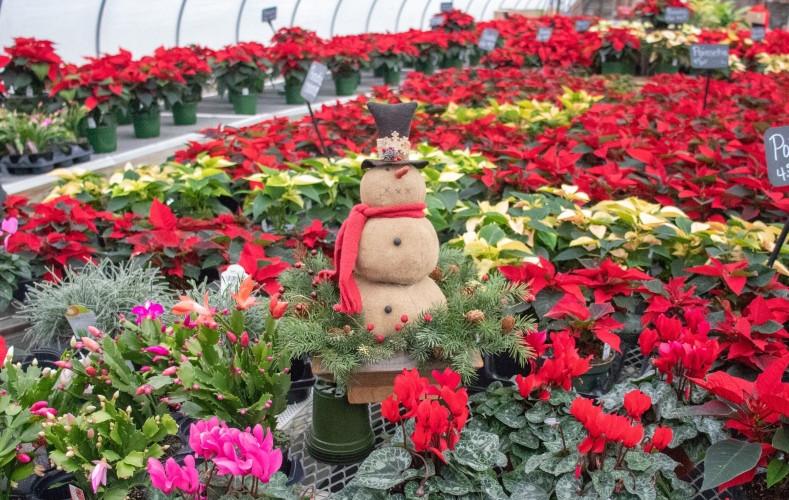 Christmas plant greenhouse cactus cyclam