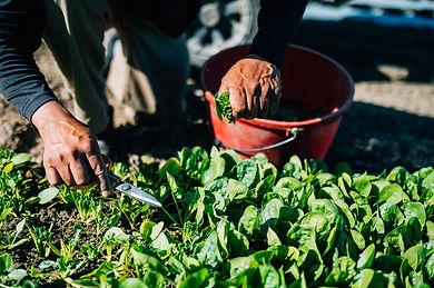Sherman Farm - Spinach.jpg