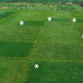Eco-lawn turf grass