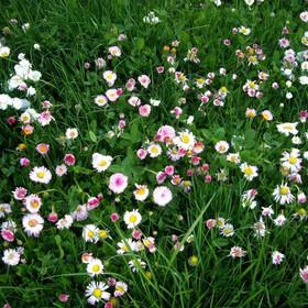 fleur-de-lawn_1_orig.jpg