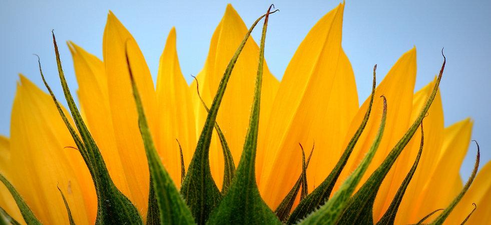 sunflower-402168_1920.jpg