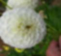 White Pom.png