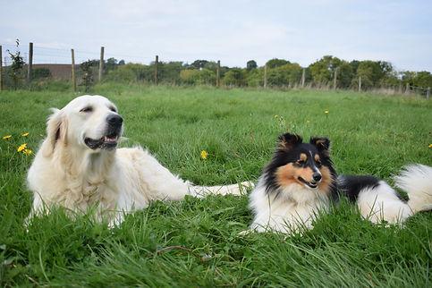Golden Retriver and Shetland sheepdog